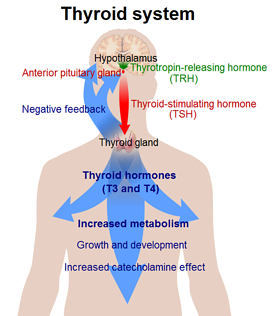 Thyroid System