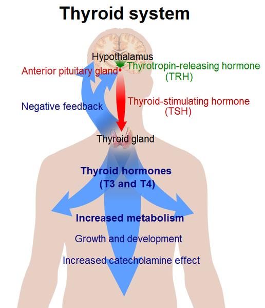 516px-thyroid_system-resized-600