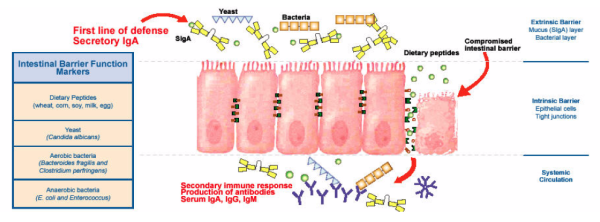 Intestinal Barrier