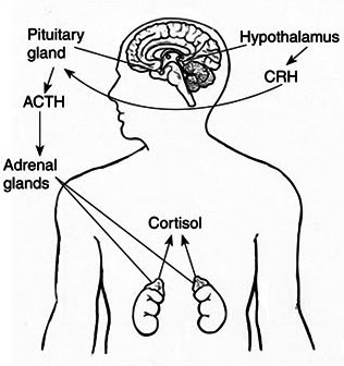 Why Low Adrenal Function Can Mimic Hypothyroid Symptoms