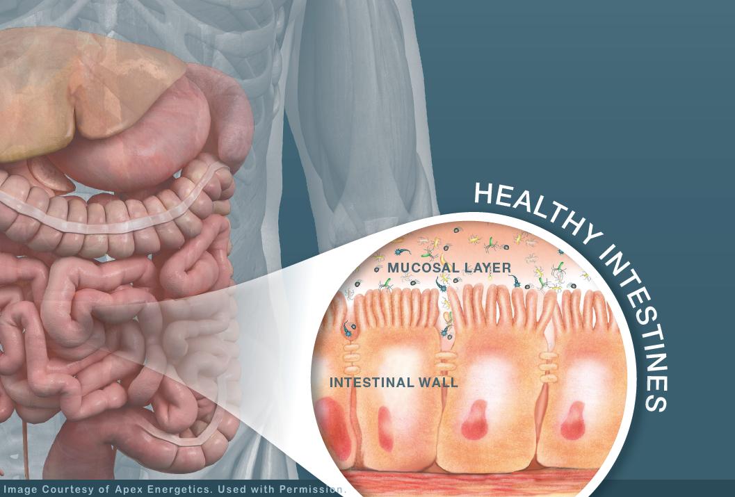 Healthy Intestines-Apex Energetics