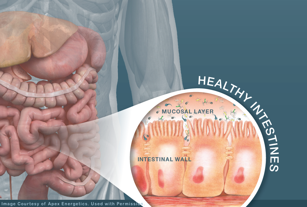Healthy Intestines-Apex Energetics