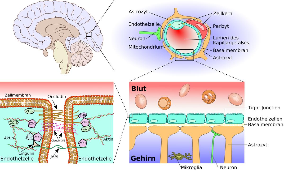 Blood-Brain-BarrierWikimedia-1200.png